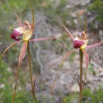 Unknown caladenia - a type of spider orchid